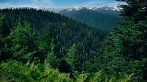 Mountain Pines Rolling Forest Background