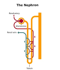 Your Kidneys How They Work Niddk