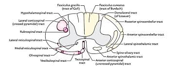 Easy Notes On Tracts Of The Spinal Cord Learn In Just 3