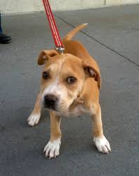 terrier pitbull mix puppies. Contemporary Terrier American Pit Bull Terrier Mix Puppy On Pitbull Puppies R