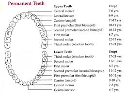 Tooth Position Chart Pediatric Dentistry Faq Pediatric Dentist Webster Ny Teeth