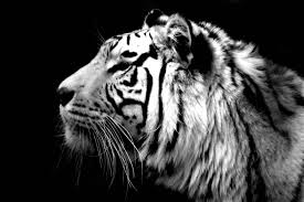 white tiger wallpaper hd 1080p. Plain White 192 White Tiger Wallpapers  Backgrounds Page 3 With Wallpaper Hd 1080p R