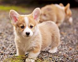 corgi puppy playing.  Puppy Pembroke Welsh Corgi Puppies Play At Black Gravel Throughout Puppy Playing T