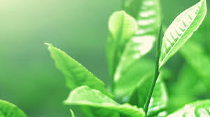 fresh tea leaves. Perfect Fresh Young Fresh Tea Leaves And Buds Move On Wind Outdoor Plantation In Sri  Lanka Sun Light Shines Top Of Vibrant Shiny Leaf Surface Throughout Fresh Tea Leaves E
