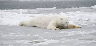 Image result for bears on ice