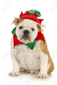 Dog Christmas Elf - English Bulldog Dressed In Elf Costume Sitting ...