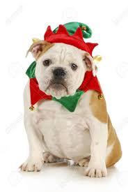 Dog Christmas Elf - English Bulldog Dressed In Elf Costume Sitting ...