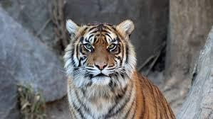 Der Tiger feiert sein Comeback - und tötet Menschen