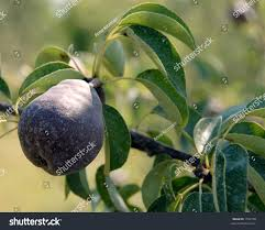 Juglans Nigra  WikipediaWhat Fruit Trees Grow In Michigan
