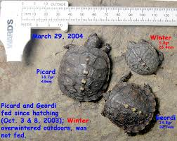 box turtle size headstarting box turtles and juvenile growth rates