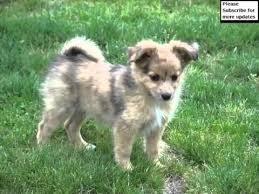 pomeranian mini australian shepherd mix. Simple Australian Pomeranian Australian Shepherd Mix Collection Of Pictures   Dogs To Mini R