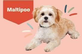 maltipoo dog breed information