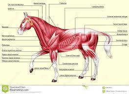 Horse Anatomy Muscles Stock Illustration Illustration Of