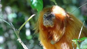 golden lion tamarin habitat. golden-lion-tamarin-monkey golden lion tamarin habitat