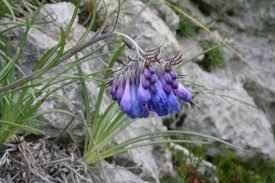 Moltkia suffruticosa - Wikispecies