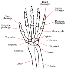 Hand and arm skeleton diagram wiring diagram