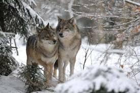 Résultat de recherche d'images pour 'images de loups'