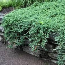 blue rug juniper companion plants. blue rug juniper, juniperus horizontalis \u0027wiltonii\u0027, will carpet your landscape in beautiful juniper companion plants