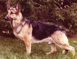 white german shepherd mixed black tan german shepherd. Interesting Mixed German Shepherd Dog Breed Intended White Mixed Black Tan T