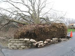 many of this tree s roots were severed during installation of the driveway creating an unsafe situation