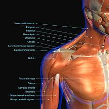 Neck Muscle Chart Labeled Anatomy Chart Of Neck