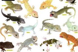 Leopard Gecko Morph Chart Albino Leopard Gecko Morphs Top Wallpapers