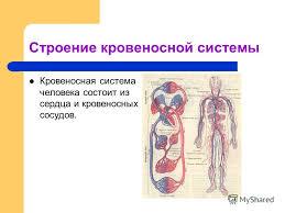 Кровообращение Кровообращение реферат 3 класс