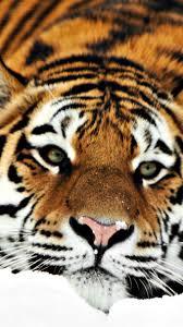 tiger iphone 6 wallpaper. Plain Iphone Tiger Hd Iphone 6 Wallpapers Wallpaper And P