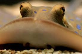 14 facts about stingrays!   National Geographic <b>Kids</b>