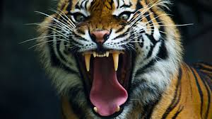 tiger face growling. Exellent Face Tiger Face Profile Growling  Photo12 In Face Growling
