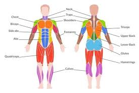 This system is mainly concerned with producing movement through muscle contraction. Muscular System Labeled Back Page 4 Line 17qq Com