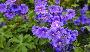 Image result for geranium