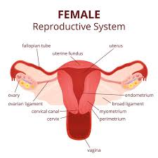 Female Reproductive System Chart Female Reproductive System Diagram Printable Diagram