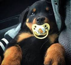 baby rottweiler. Brilliant Rottweiler Baby Rottweiler  For S