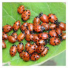 ladybugs hippodamia convergens