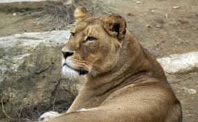lioness. Plain Lioness Lioness Kills Father Of Their Cubs Her Mate 8 Years At US Zoo Intended S