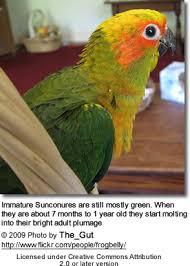 Sun Conure Growth Chart Sun Conures Or Sun Parakeets Beauty Of Birds