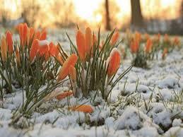 Imagini pentru zapada peste pomi infloriti