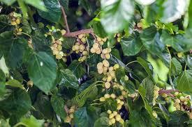 GardenAtoZ  Deadly Dense Mulberry  Garden A To ZTeas Weeping Fruiting Mulberry Tree