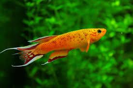 Pesce fagiano