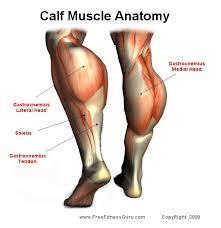 Calf Muscle Anatomy Health Fitness Calf Muscle Anatomy