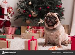 pug with gifts stock photo