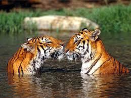Résultat de recherche d'images pour 'photo tigre'