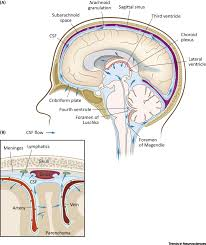 the anatomy of the brain drain debate body anatomy editor 39 s memo brain drain lymphatic drainage system discovered