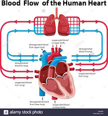 Heart Flow Chart Chart Showing Blood Flow Of Human Heart Illustration Stock