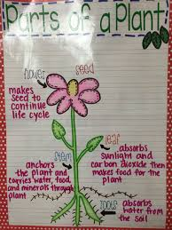 My Parts Of A Plant Anchor Chart Anchor Charts Parts Of A