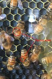 Whats Happening In The Hive Varroa Mites Dickinson