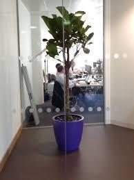 office plant displays. Lyrata Office Plant Displays In Corporate Purple Cirkik Pots