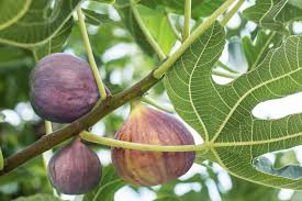 9 Species Of Fig Ficus Trees For Indoor And Outdoor Gardening
