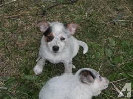 texas heeler puppies for in ohio clifieds and sell in ohio americanlisted